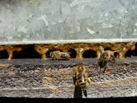 Miniature Un pont de propolis
