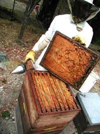 Miniature L'apiculteur récolte la propolis